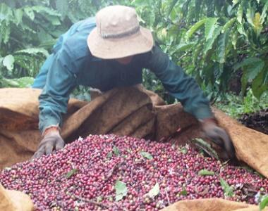 Giá nông sản hôm nay 26/3/2021: Cà phê đạt 32.400 đồng/kg, tiêu không ngừng tăng cao