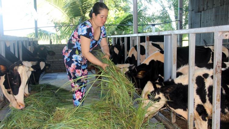 Chăn nuôi bò sữa – điểm sáng kinh tế vùng đồng bào dân tộc Sóc Trăng
