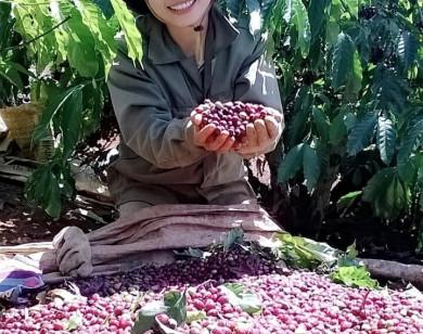 Giá nông sản ngày 17/9/2021: Cà phê tăng lên 40.500 đồng/kg, tiêu trụ vững ở mức cao