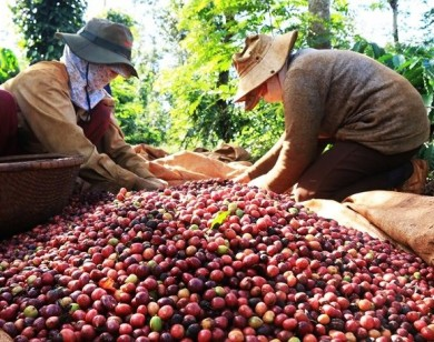 Giá nông sản hôm nay 7/3: Giá cà phê tăng 100 đ/kg, giá tiêu giảm nhẹ